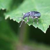 160623 nettle weevils (3)
