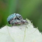 160623 nettle weevils (4)
