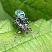 160623 nettle weevils (5)