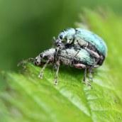 160623 nettle weevils (6)