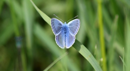 160624 Common Blue