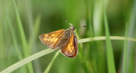 160624 Large Skipper