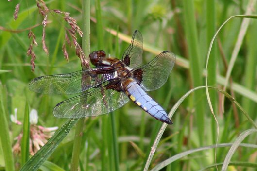 160626 Broad-bodied chaser male