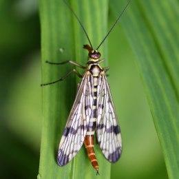 160626 scorpion fly (2)