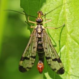 160626 scorpion fly (3)