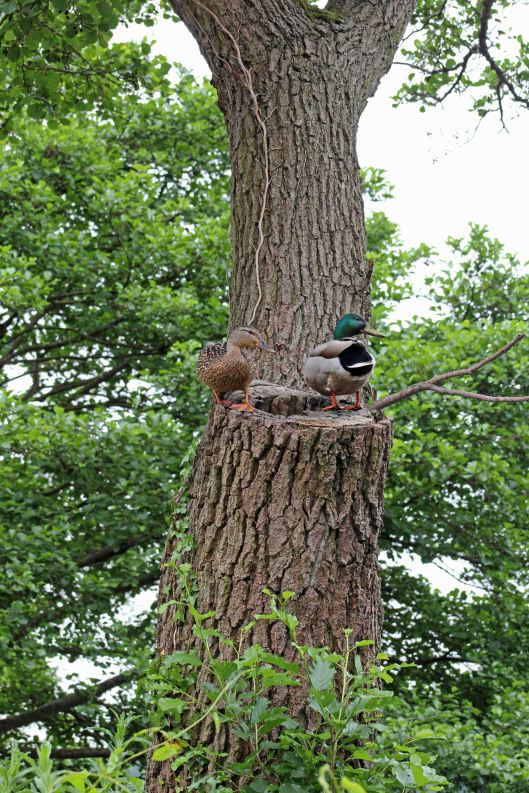 160627 mallards in tree (1)