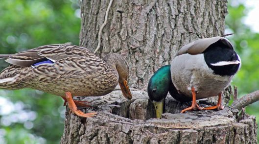 160627 mallards in tree (2)