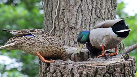 160627 mallards in tree (3)