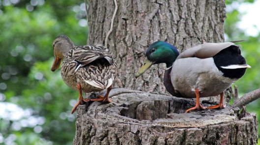 160627 mallards in tree (5)