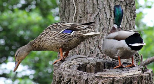 160627 mallards in tree (6)