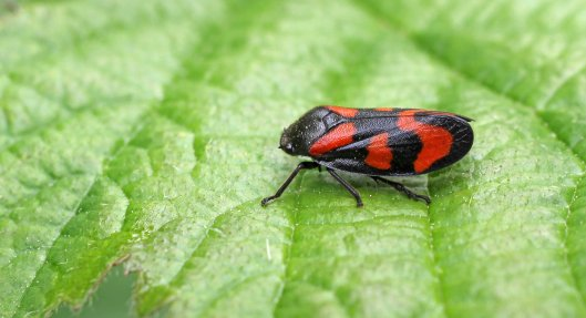 160630 Red-and-black Froghopper (1)