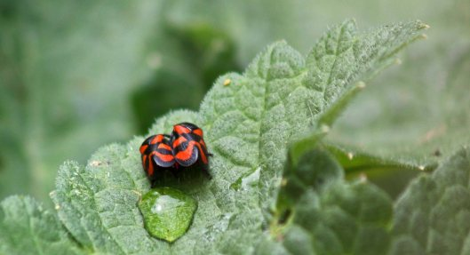 160630 Red-and-black Froghopper (2)
