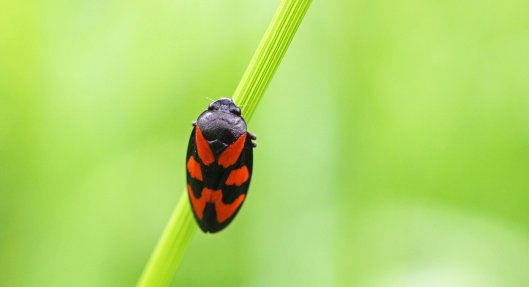 160630 Red-and-black Froghopper (5)
