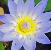 160701 waterlilies (1)