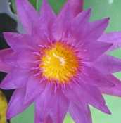 160701 waterlilies (2)
