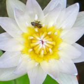 160701 waterlilies (3)