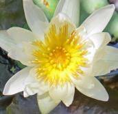 160701 waterlilies (4)