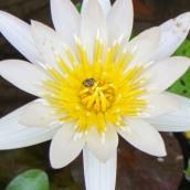 160701 waterlilies (8)