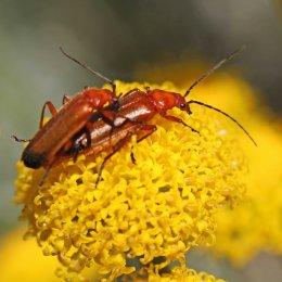 160704 red soldier beetles (1)