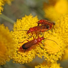 160704 red soldier beetles (4)