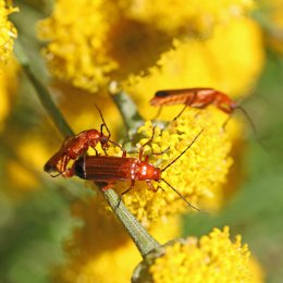 160704 red soldier beetles (5)