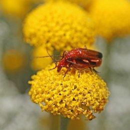 160704 red soldier beetles (6)