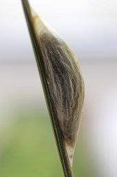 160709 5-spot Burnet pupa (1)