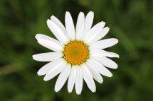 160710 3 Oxeye daisy