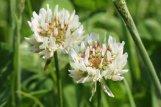 160710 8 White clover