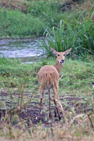 160713 antelopes (1)
