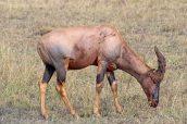 160713 antelopes (10)