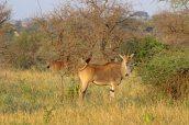 160713 antelopes (11)