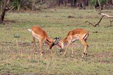 160713 antelopes (2)