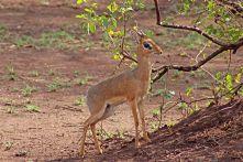 160713 antelopes (3)