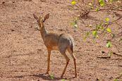 160713 antelopes (4)