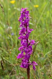 160715 orchids (10)