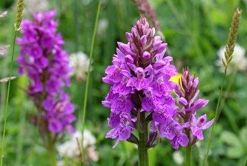 160715 orchids (7)