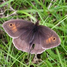 160716 Meadow Brown (2)