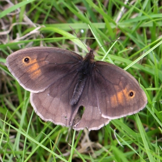 160716 Meadow Brown (2)