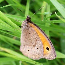 160716 Meadow Brown (3)