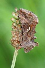 160718 silver y moth (1)