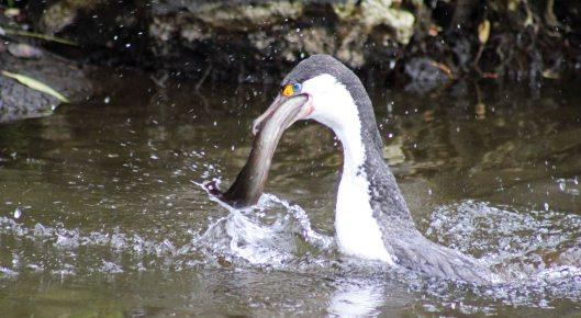 160719 eel cormorant (2)