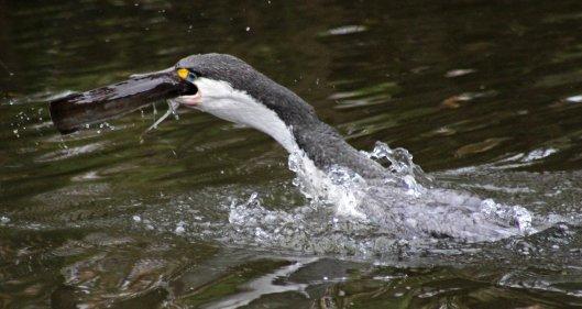 160719 eel cormorant (3)