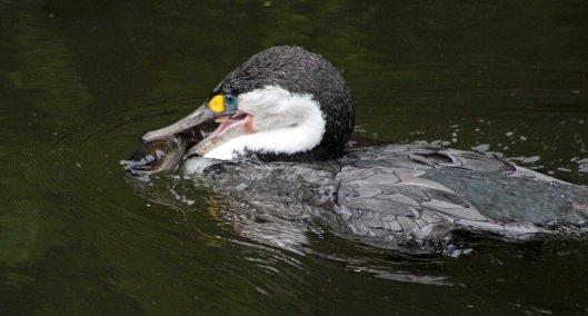160719 eel cormorant (6)