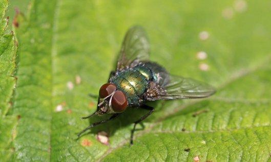 160720 flies (4)