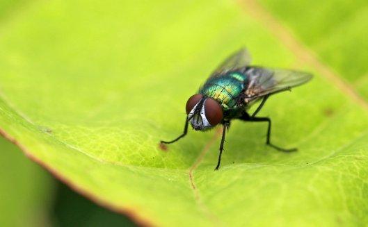 160720 flies (5)