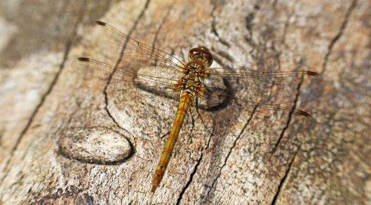 160725 (2) Common darter imm male