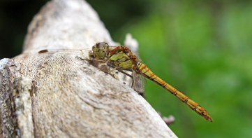 160725 (4) Common darter imm male
