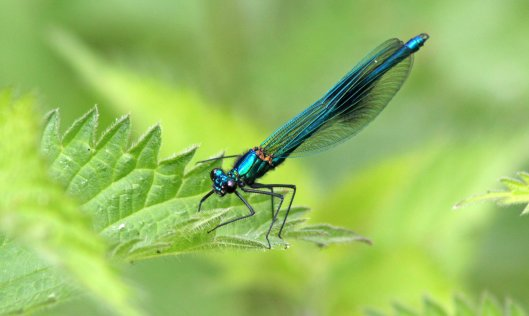 160726 Banded demoiselle male (1)