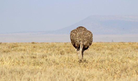 160727 ostrich (1)